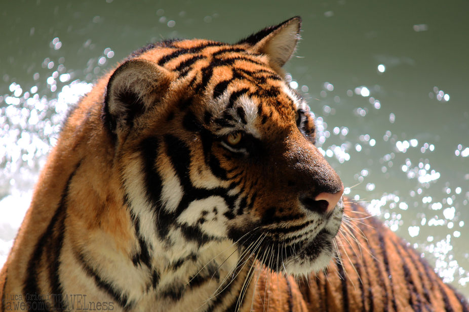 Bengala Tiger in the river