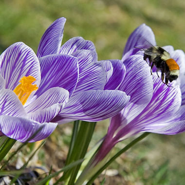 A bee approaching a group of purple crocuses.