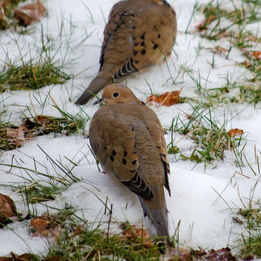 Two mourning doves in a snowy lawn.