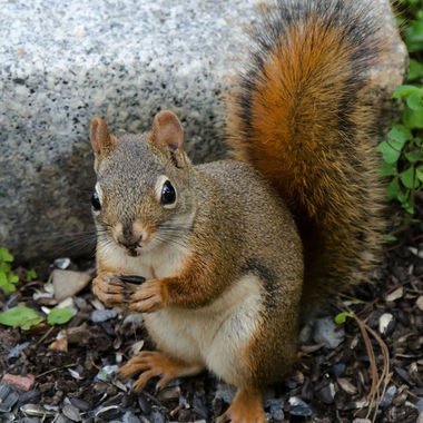 Close-up of a red squirrel eating sunflower seeds.