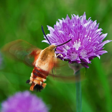 A sphinx moth hovering over a flowering chive.