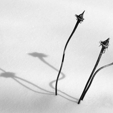 Three dried coneflowers and their shadows on the snow.