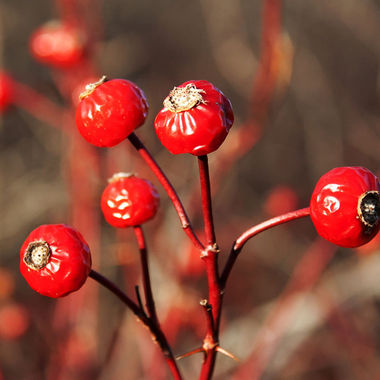 Close-up of a group of rose hips.