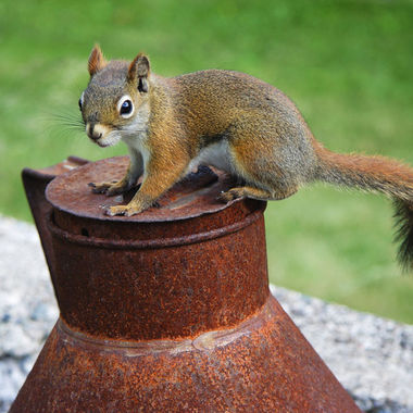 A red squirrel sitting on a rusty milk can.
