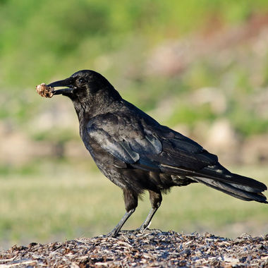 A crow holding something in its beak.