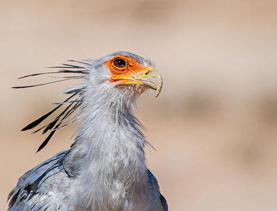 Face of secretary bird