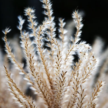A close-up of fountain grass catching the morning light.