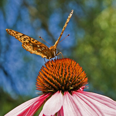 A butterfly drinking nectar from a coneflower.