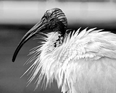 Ibis In Black & White