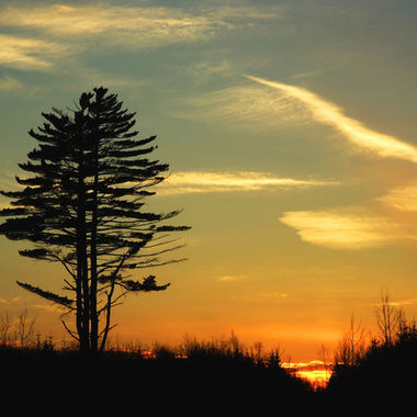 A large pine tree at sunset.