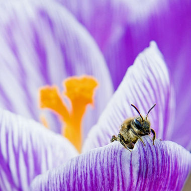 A bee looking over the edge of a crocus petal.