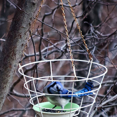A blue jay in a feeder.