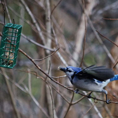 A blue jay reaching for a suet feeder.