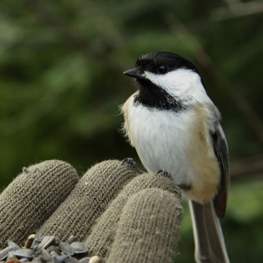 A chickadee sitting on my fingers.