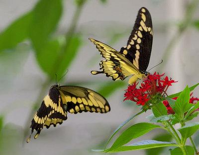 Tiger Swallowtail Butterflies