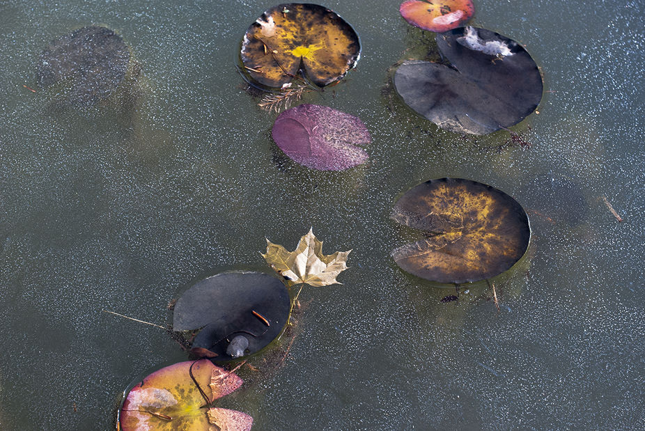 Lily pads frozen in ice