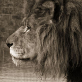 Monochrome closeup shot of a male Lion in profile. He looks out over his domain, albeit a paddock in a Wildlife Park. The shot is enhanced to giv...