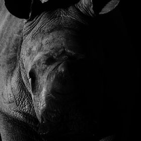 An inquisitive baby Rhino photographed in Shamwari Game Reserve whilst on honeymoon earlier this year.