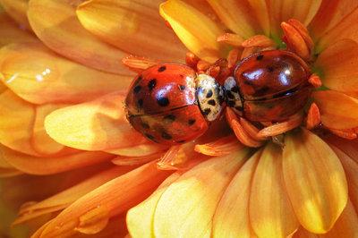 kissing ladybug