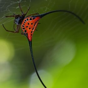 A beautiful species , Red spine Orb weaver m found in the rain forests of Borneo .