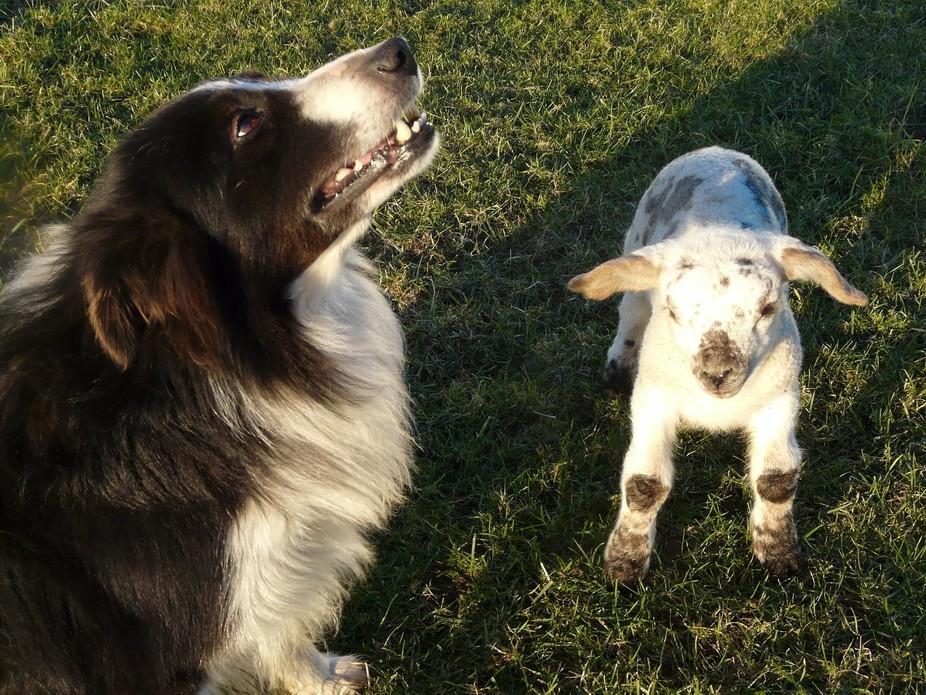 Sheepdog and pet lamb