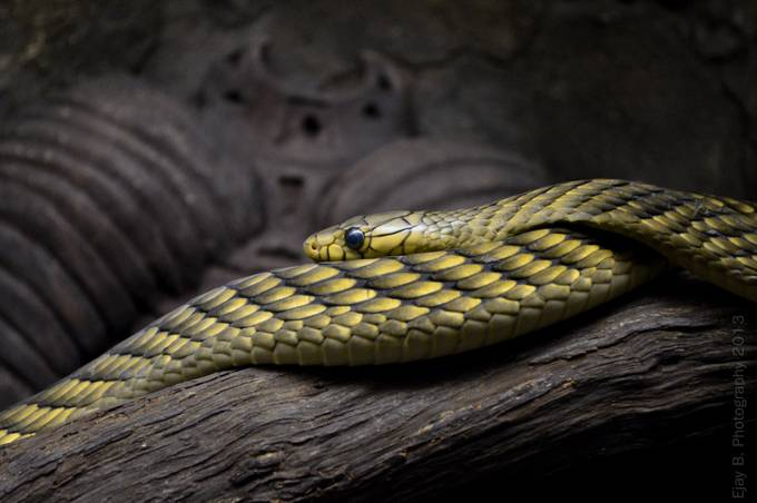 Lines by edwardbharath - Reptiles Photo Contest