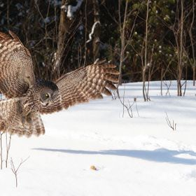 A Great Grey Owl goes after a mouse.