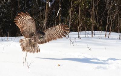 Great Grey Owl hunting.