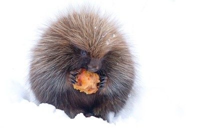 Baby porcupine with apple