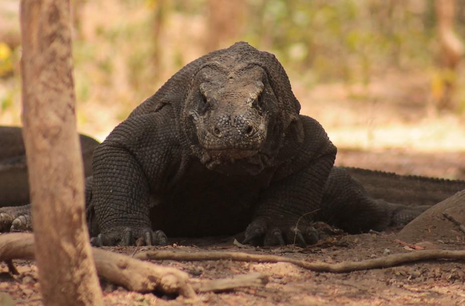 Dragon of Komodo