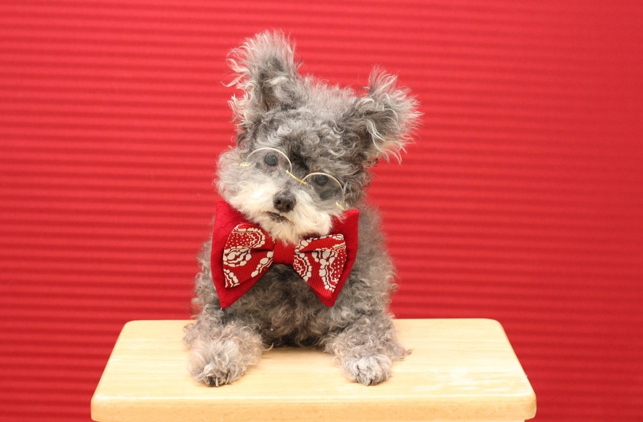 This is Lil\' Bit.  He was rescued from a puppy mill, where he was flea infested and starving.  He...