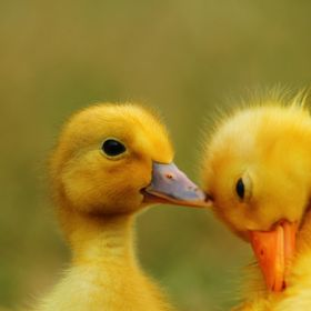 I love ducks