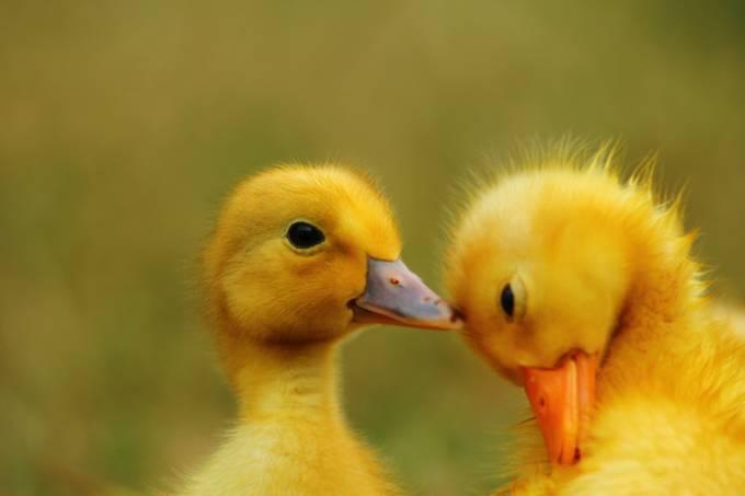 I love ducks by PHOTOHAPPY - Baby Animals Photo Contest