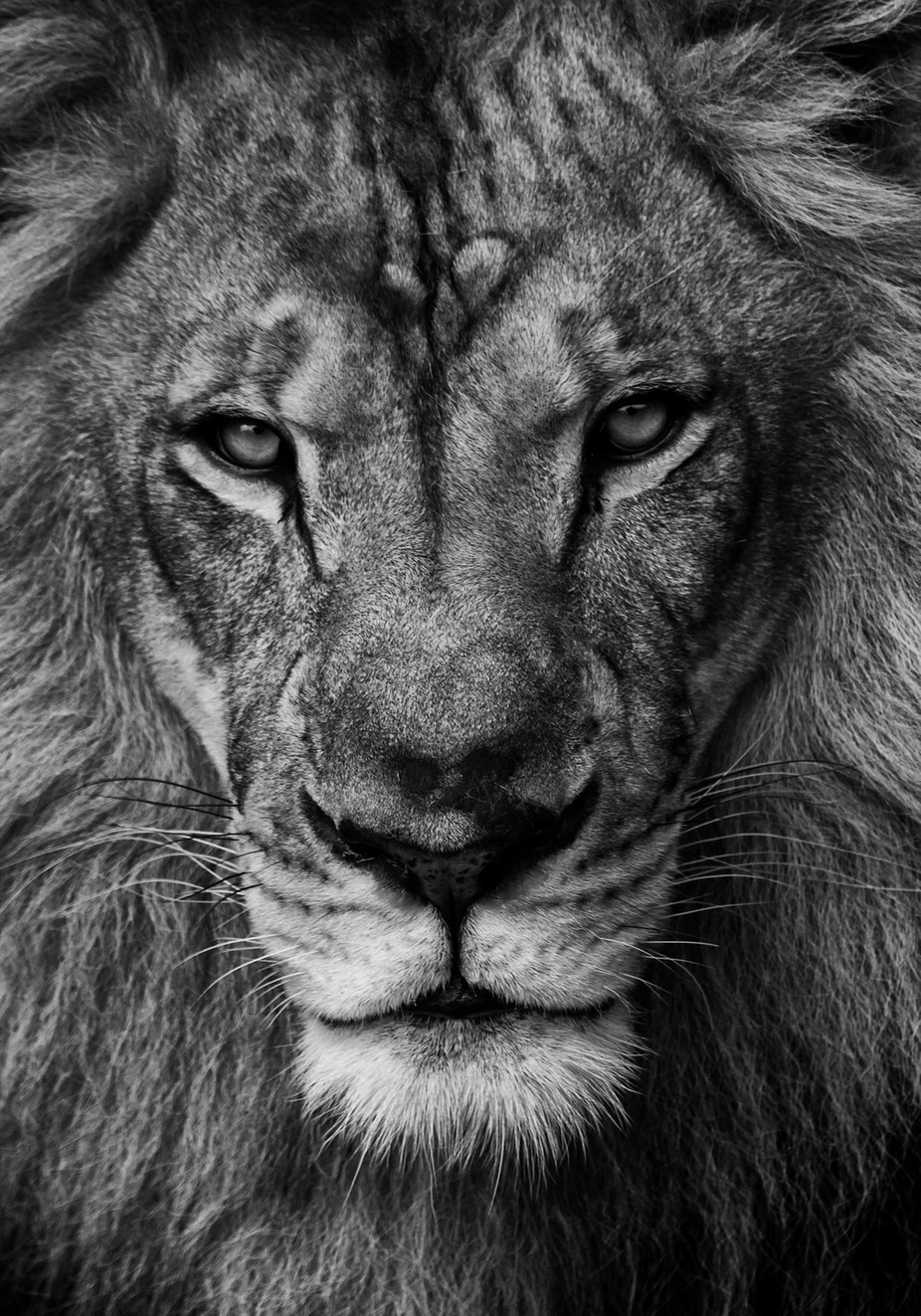 The  Stare Down by sabatesphoto - Animals In Black And White Photo Contest