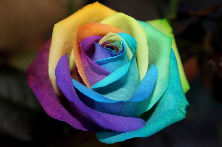 This real rose is not Photoshopped, but is the a creation of Peter van de Werken. A cream coloure...