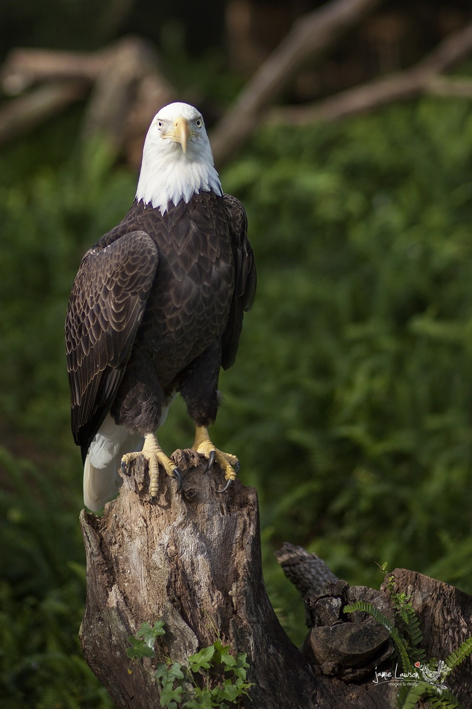 bald eagle by JamieLawsonPhotography - Life And Freedom Photo Contest