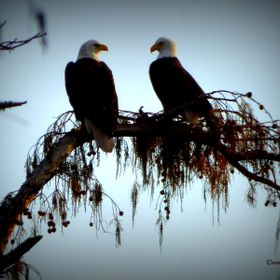 Bald Eagles visit Lake Martin, Louisiana #LakeMartinLouisiana #OrcinusFotograffy