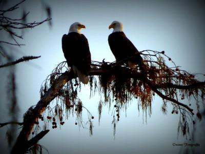 Lake Martin Bald Eagles