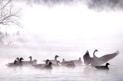 Geese in Ice Fog 2