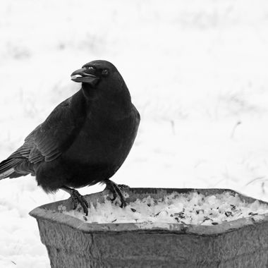 A crow with a peanut in its beak perched on the edge of a planter.