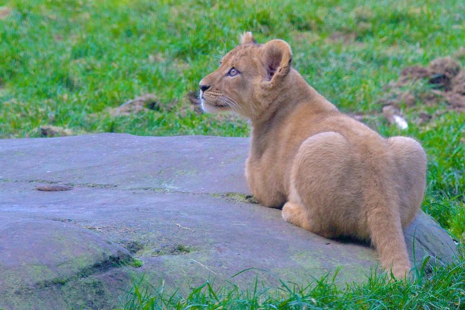 Lion Cub 1750