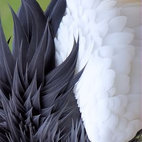 Wings and feathers that are complete opposites, on the same bird.