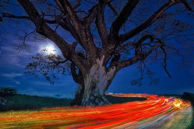 Car Taillights Shining Through Acacia Tree