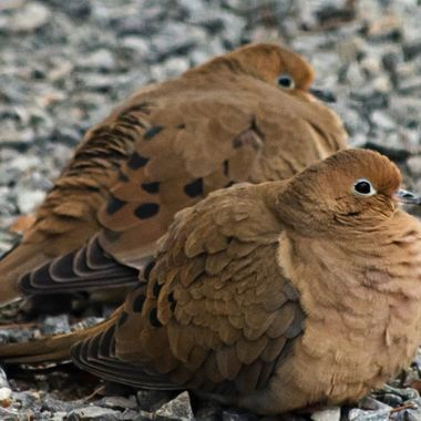 Two mourning doves sitting together on a gravel driveway.
