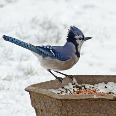 A blue jay perched on a garden planter on a cold and windy winter day.