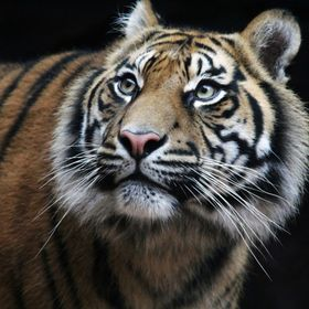 I love tigers. Along with Snow Leopards, Polar Bears and Giraffes, they are my favourite mammals.