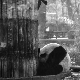 Panda obviously depressed at Berlin Zoo. (1995 copy from slide)