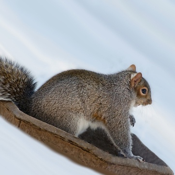 A grey squirrel sliding down a snowy hill in a planter top.