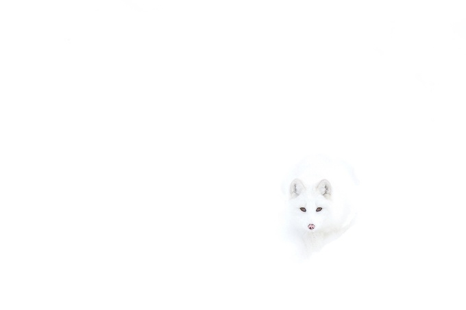Arctic Fox by JimCumming - Composing with Negative Space Photo Contest