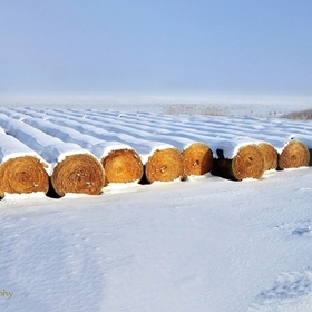 Fresh Snow on Golden Rows